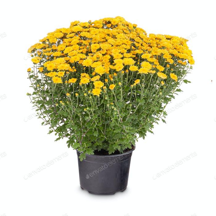 Gelbe Chrysantheme Multiflora Blumen