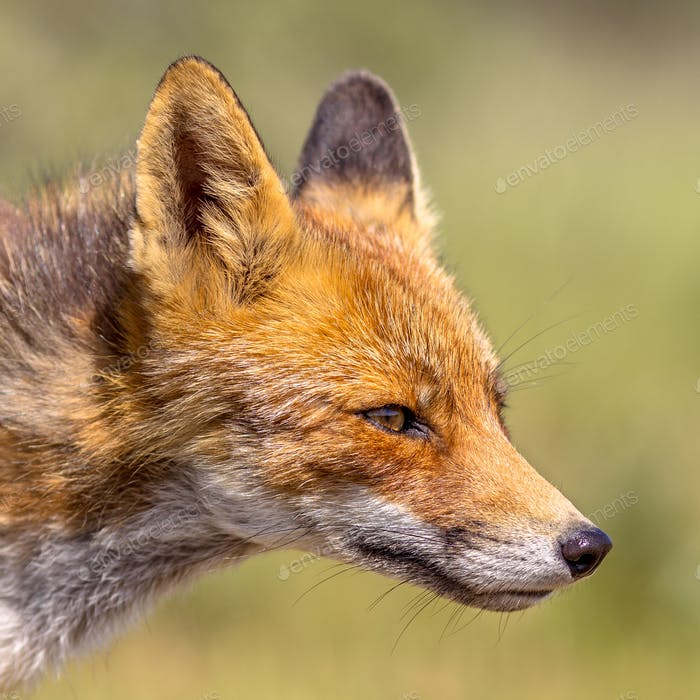Red Fox attractive portrait