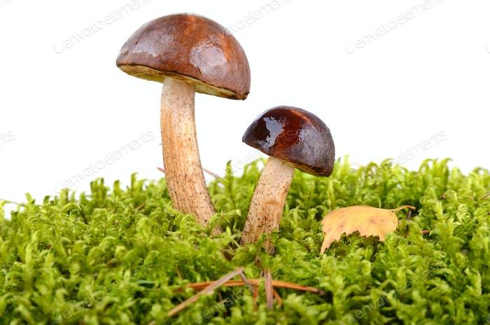 Brown cup mushrooms