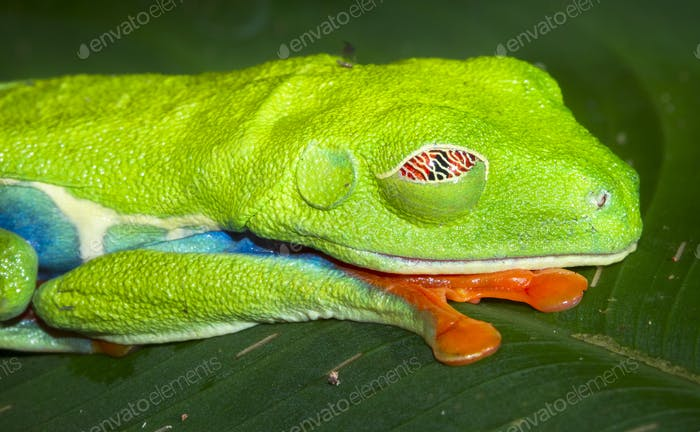 Red-eyed Treefrog Sleeping in Costa Rica