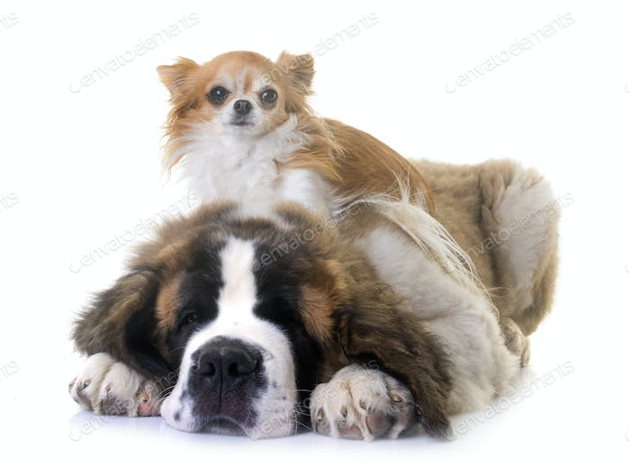 puppy saint bernard and chihuahua