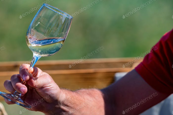 Hand holds glass with white wine next to grapes in nature