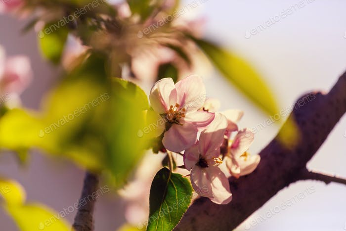 Blütenkirsche