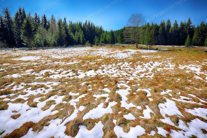 Frühlingsberglandschaft mit Schnee und Tannenwald