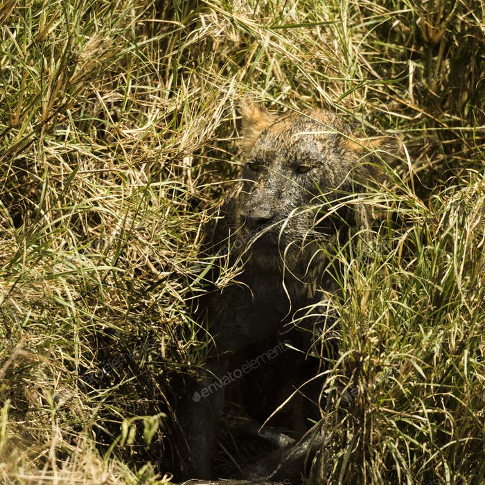 Dirty lioness hiding in the bush, Serengeti, Tanzania, Africa