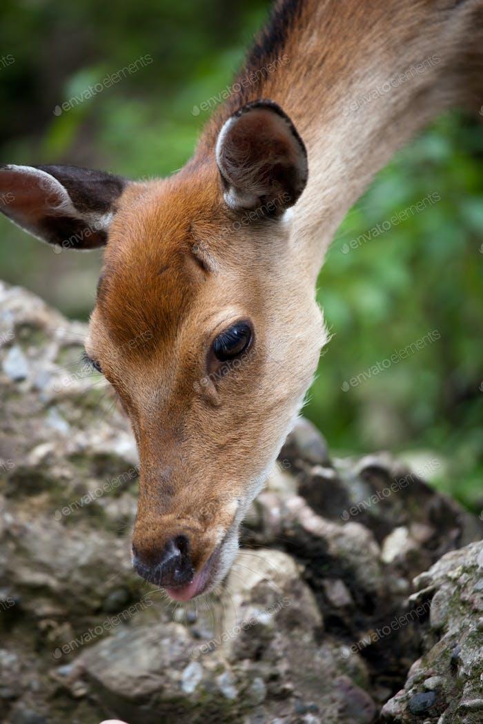 sika deer (lat. Cervus nippon) doe