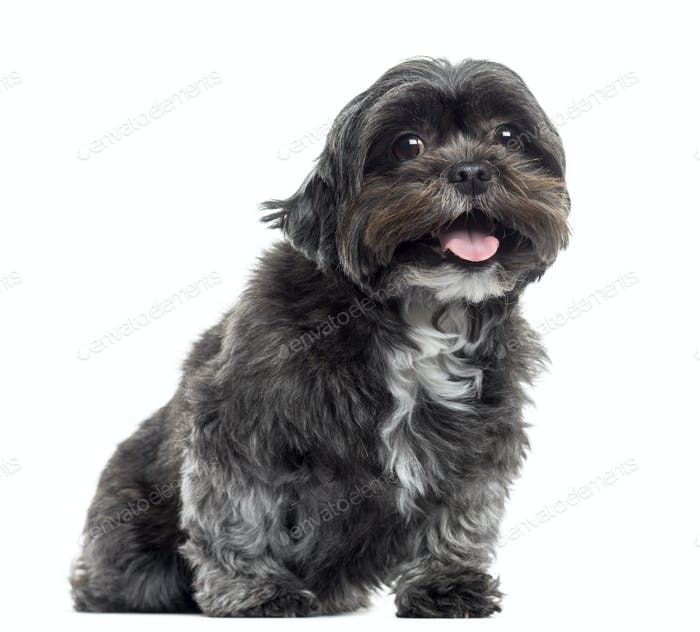 Shih tzu sitting and panting, isolated on white