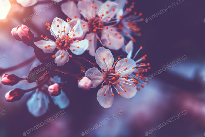 Gentle cherry blossom