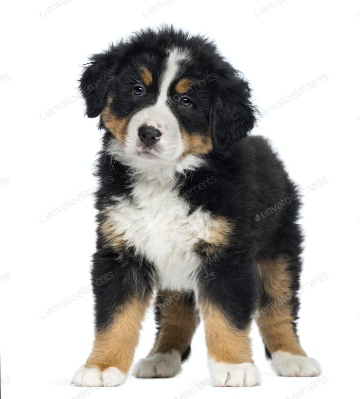 Bernese Mountain Dog Puppy 2 Months Old Standing Isolated On White Photo By Lifeonwhite On Envato Elements