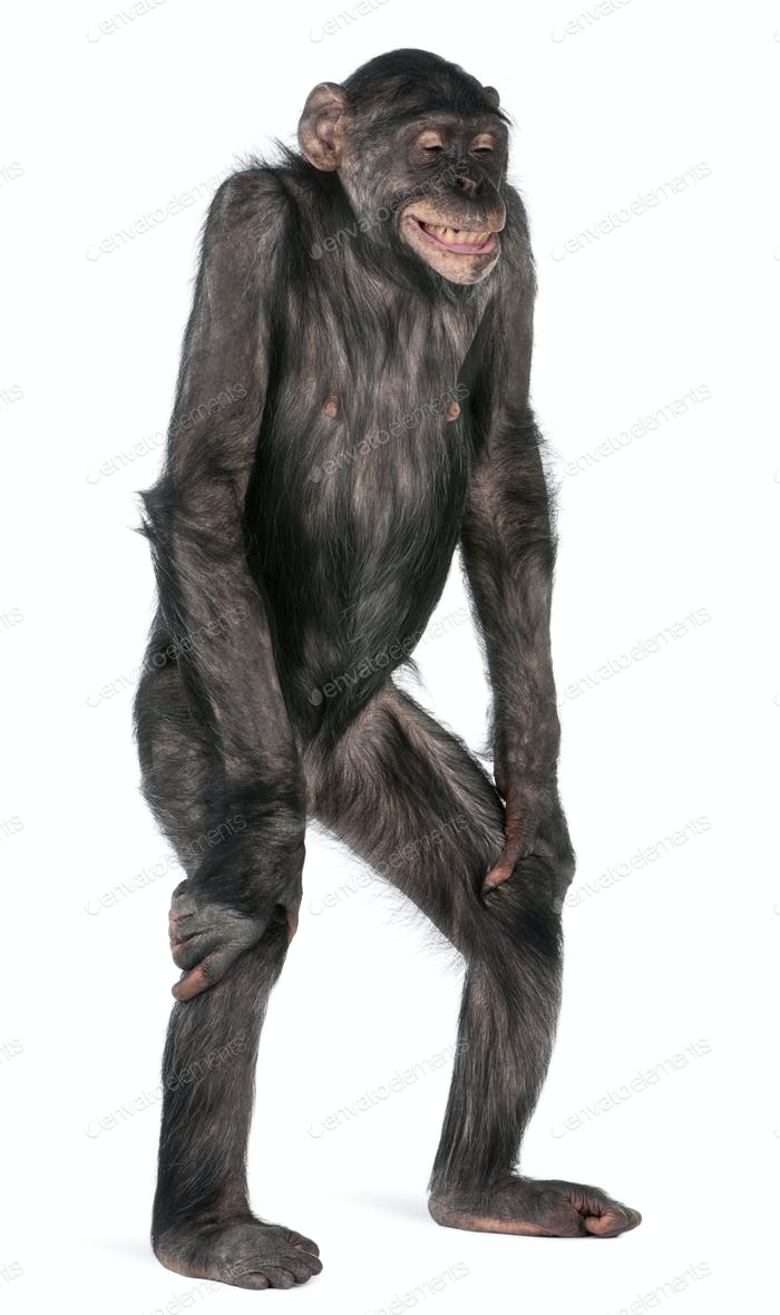 Mixed-Breed monkey between Chimpanzee and Bonobo, 8 years old, standing in front of white background