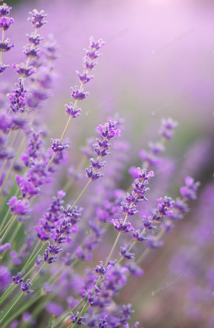 Lavender flowers closeup
