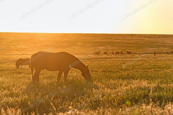 Wilde Pferde grasen auf der Wiese bei Sonnenuntergang