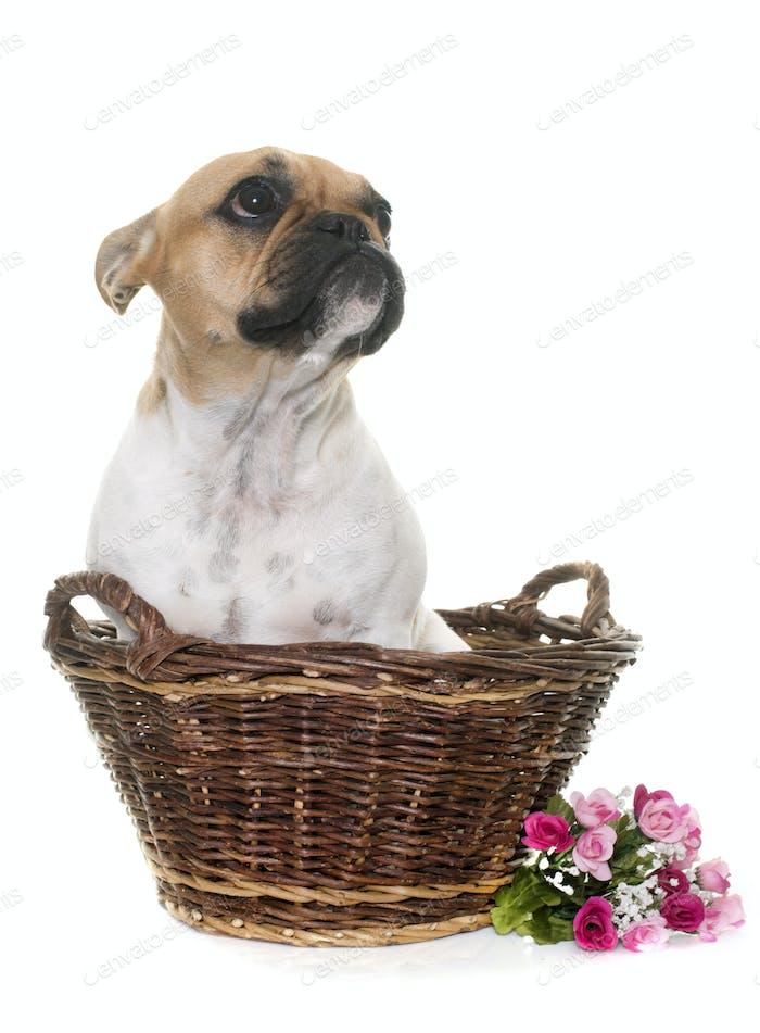 young french bulldog