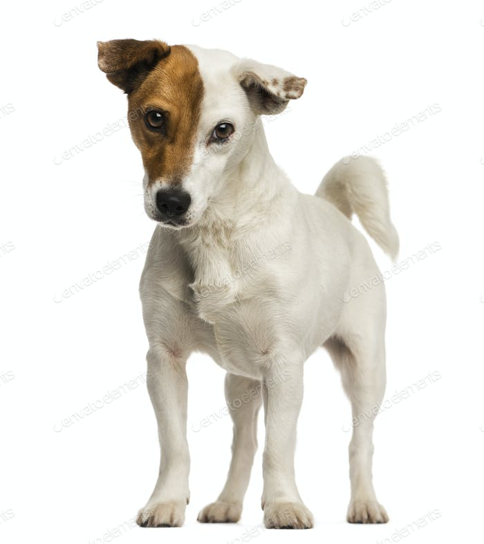 Jack russel terrier standing, looking at the camera, isolated on white