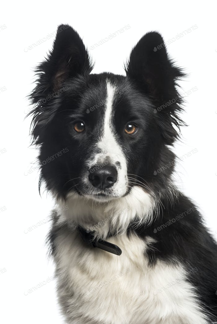 Border Collie, 1 year old, in front of white background