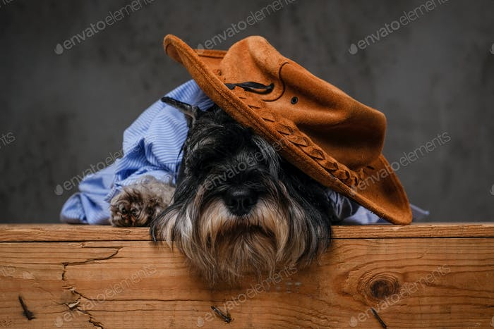 Cute fashionable Scottish terrier wearing a blue shirt sitting on a wooden pallet