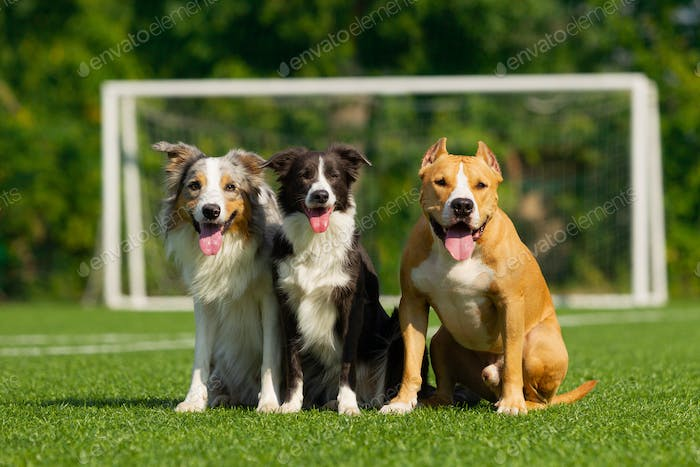 Dogs are sitting on the green grass on the background of a football goal
