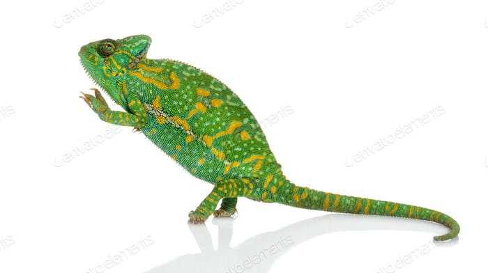 Yemen chameleon on hind legs - Chamaeleo calyptratus - isolated on white
