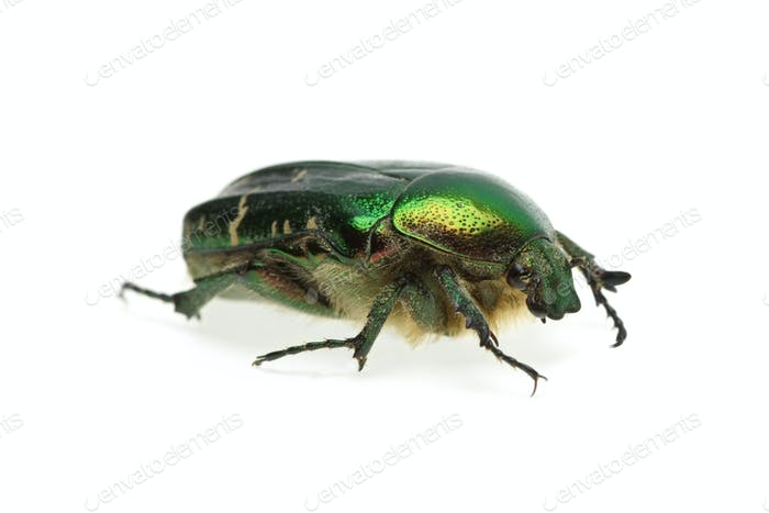 Flower chafer (rose chafer, Cetonia aurata) beetle