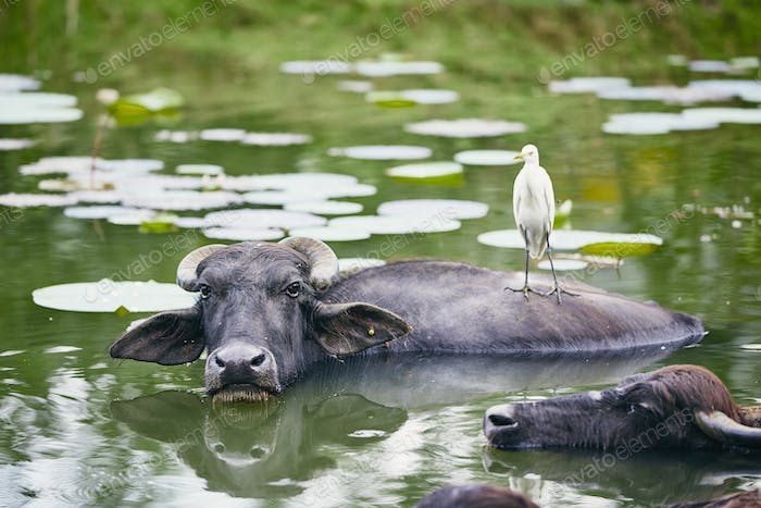 Cooperation between water buffalo and bird
