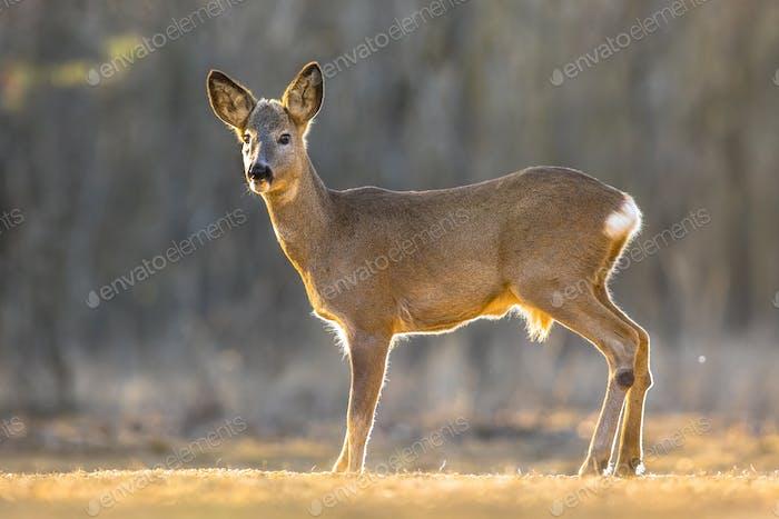Roe deer on clearing