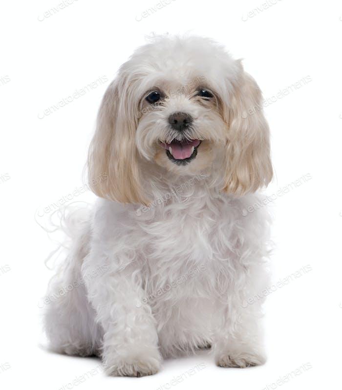 maltese dog sitting (11 years old)