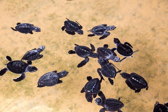 Newborn turtles in water, seaturtles Sri Lanka
