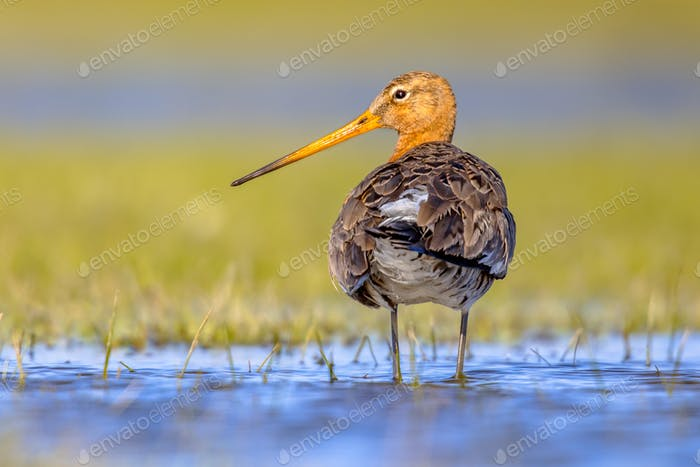 Black-tailed Godwit wader bird in natural habitat