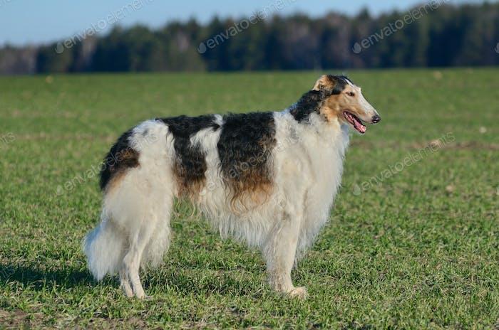 Black and white borzoi dog