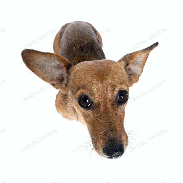 High angle view of bastard dog standing in front of white background, studio shot