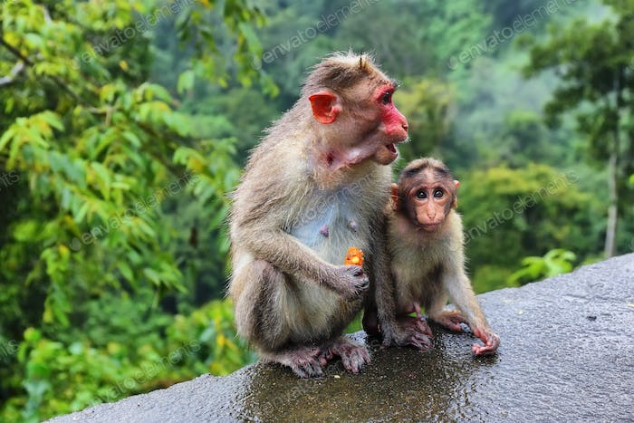 Wild Monkeys (macaques) near Munnar, Kerala, India