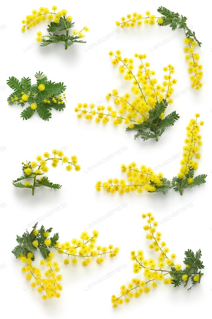 mimosa assortments for Festa della Donna