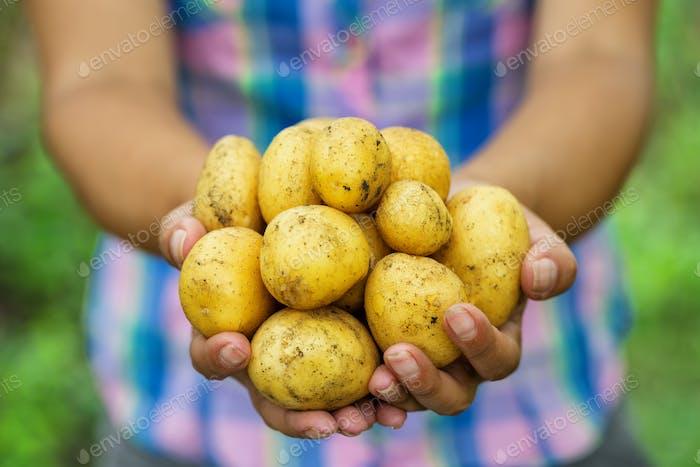 Potato harvest in hands of woman farmer