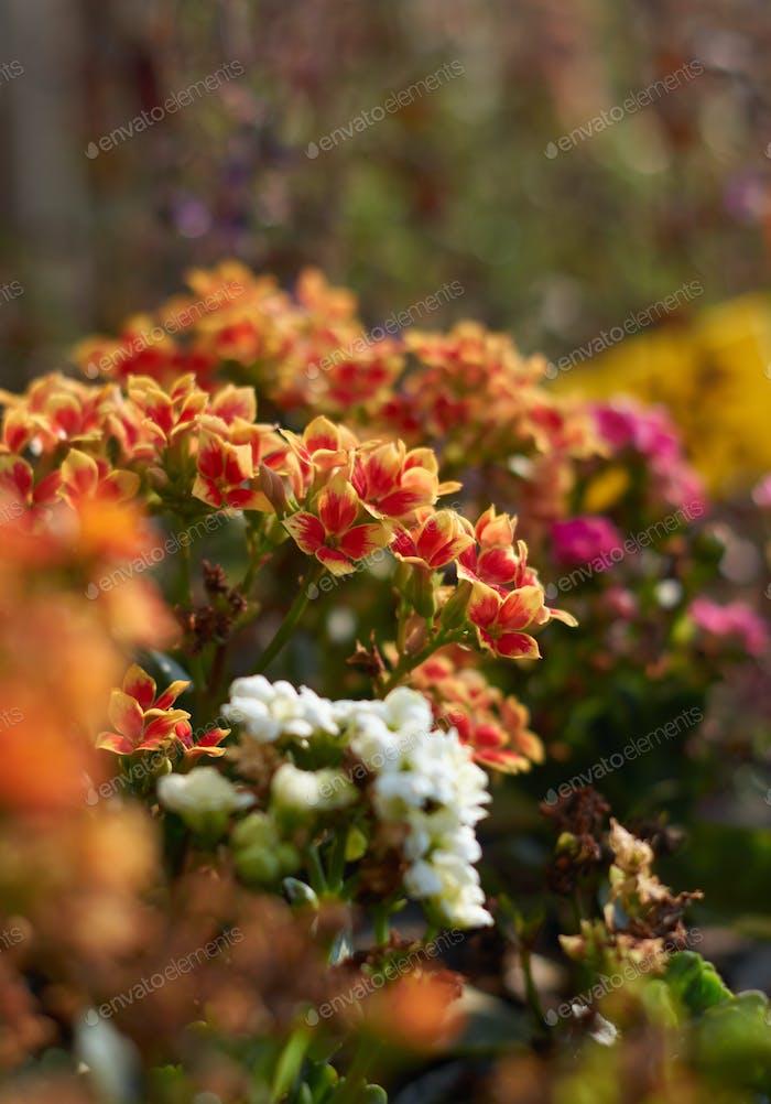 Die lebendigen Farben der Blüten der Kalanchoe