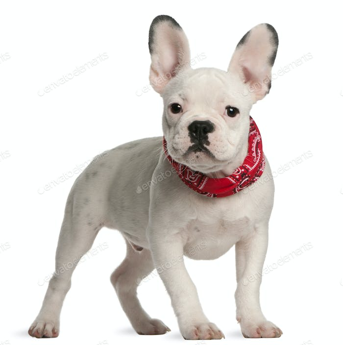 French bulldog puppy, 4 months old, standing in front of white background