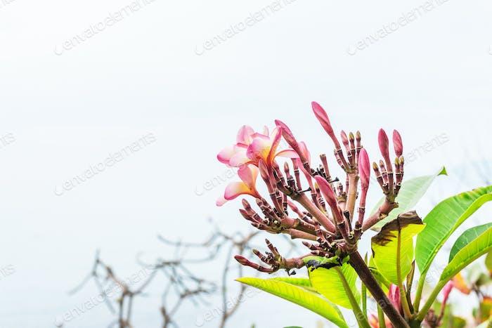 Frangipani tropische Blumen