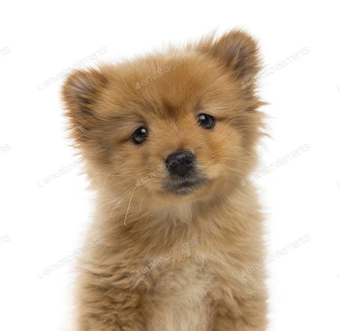 Headshot of a Spitz puppy (2 months old)