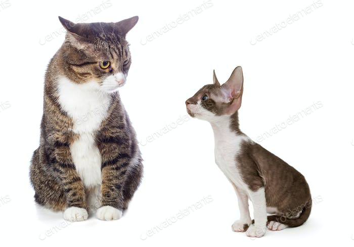 Adult gray cat and kitten Cornish Rex