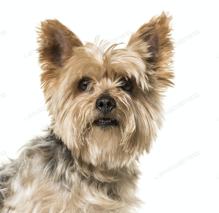 Close-up of yorkshire Terrier dog, cut out