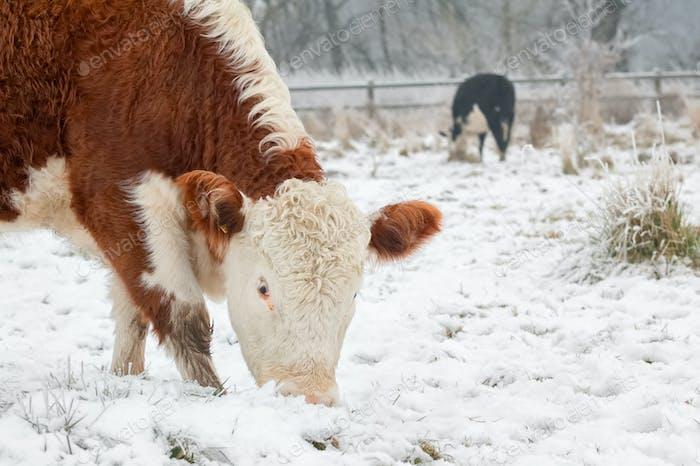 Kühe, die im Schnee grasen