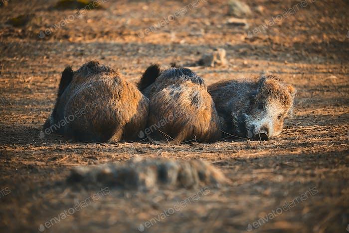 Lazy boars