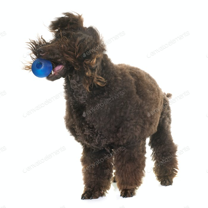 poodle playing with a ball