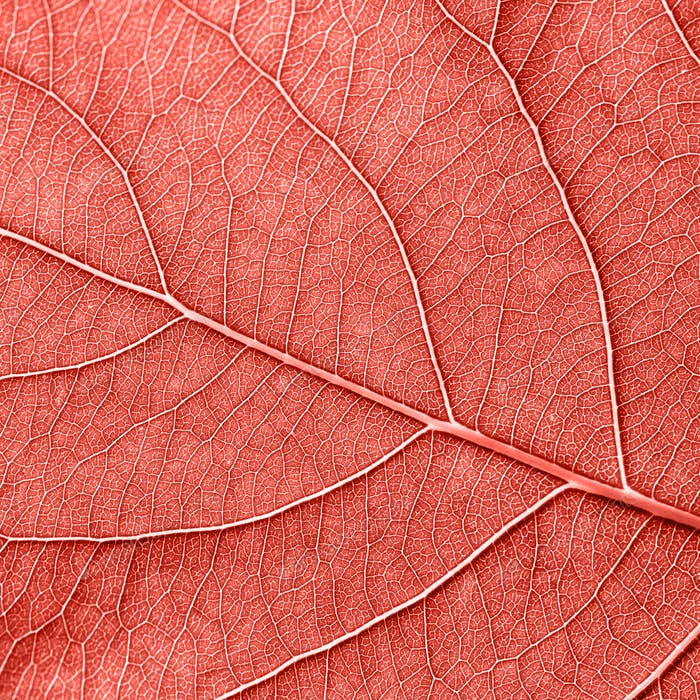 Detailed macro photo of leaf with veins n a color of the year 2019 Living Coral pantone. Natural