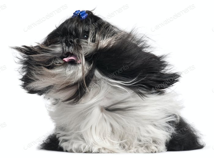 Shih Tzu with hair in the wind, 4 years old, in front of white background