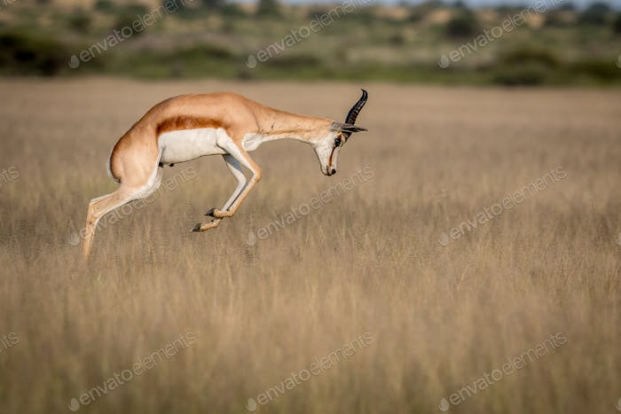 Springbok pronking in the grass.