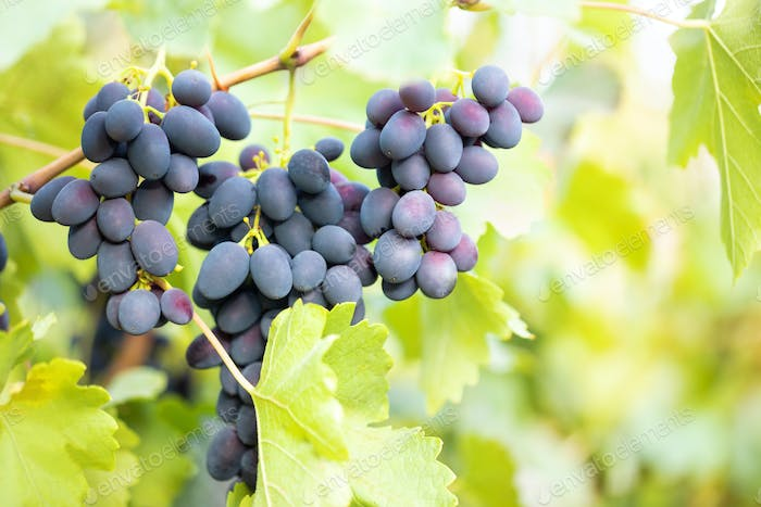 Bunch of ripe fragrant blue grapes on branch