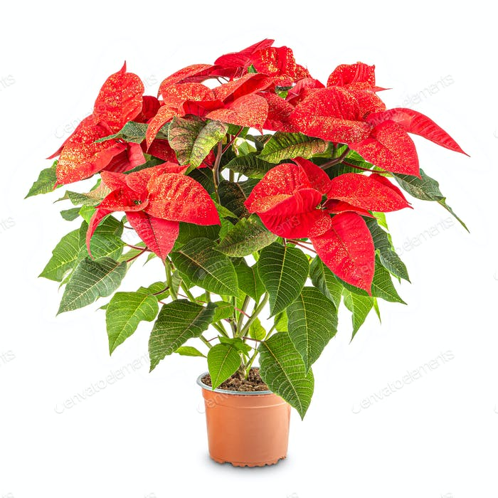 Red poinsettia in flowerpot