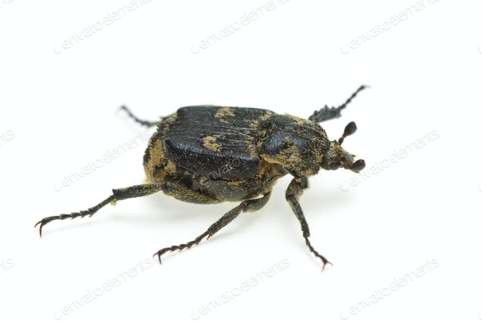 Checkered beetle (Valgus hemipterus)