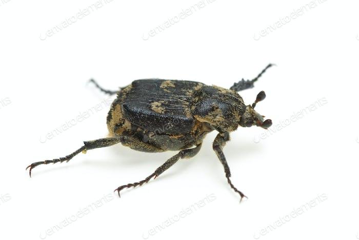 Karierter Käfer (Valgus hemipterus)