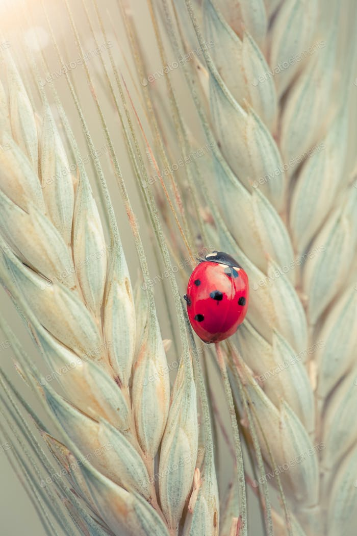 Ladybug on a spike